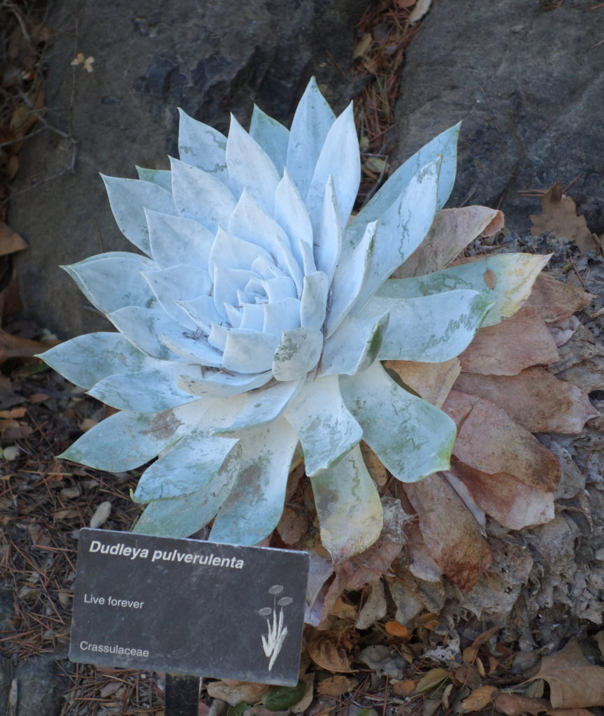Image of Chalk Dudleya plant