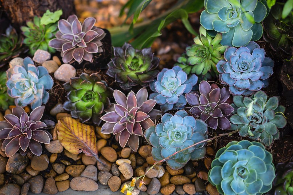 Multiple color succulent garden
